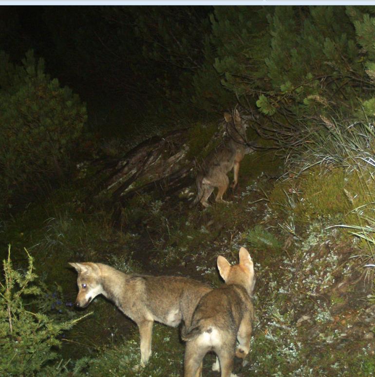 Foto: Jungwölfe des Calandarudels, Jahrgang 2014 (Fotos: Amt für Jagd und Fischerei Graubünden)