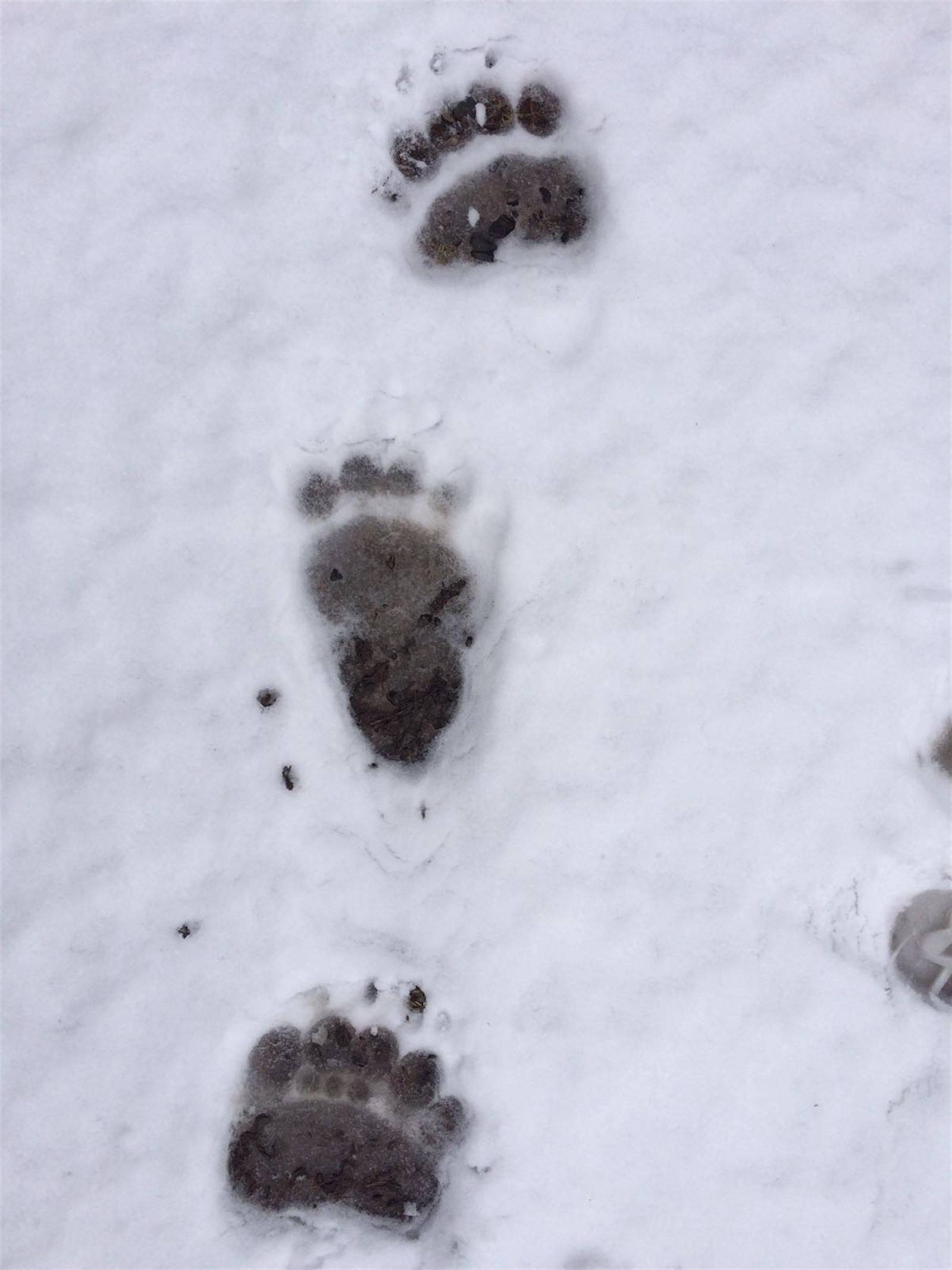 Bärenspuren in Zernez (Fotos: Amt für Jagd und Fischerei Graubünden)