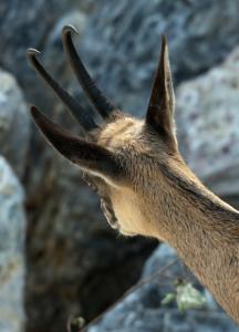 Die umstrittene Sonderjagd sei notwendig, so das Amt für Jagd und Fischerei. (Bild: Geweihmanufaktur.ch)