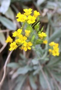 Biodiversität: Foto einer Alpenblume in Savusch / Domleschg (Remo Maßat)